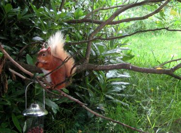 Red Squirrel   Roundwood and District Community Council