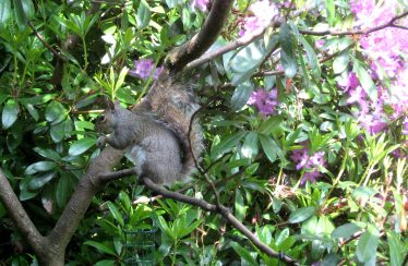 Grey Squirrel   Roundwood and District Community Council