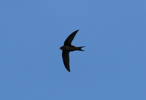All about  Swifts in County Wicklow