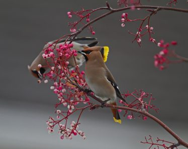 Waxwings in Wicklow | Shay Connolly