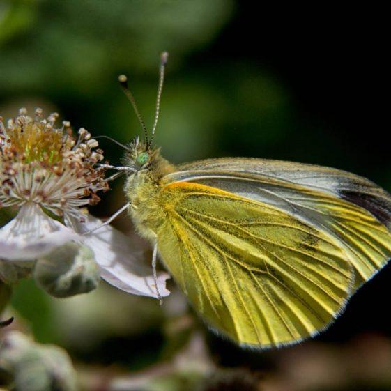Small White Butterfly | Celine Pollard