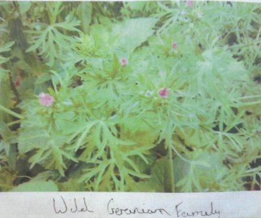 Wild Geraniums | Brittas Bay National School