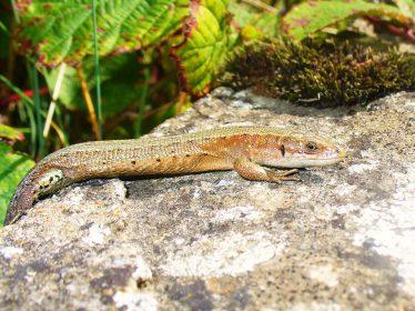 Viviparous Lizard on the Cliff Walk