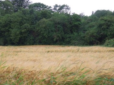 Wheatfield en route   PURE Mile