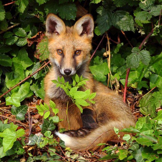 Young Fox | Darren Flynn