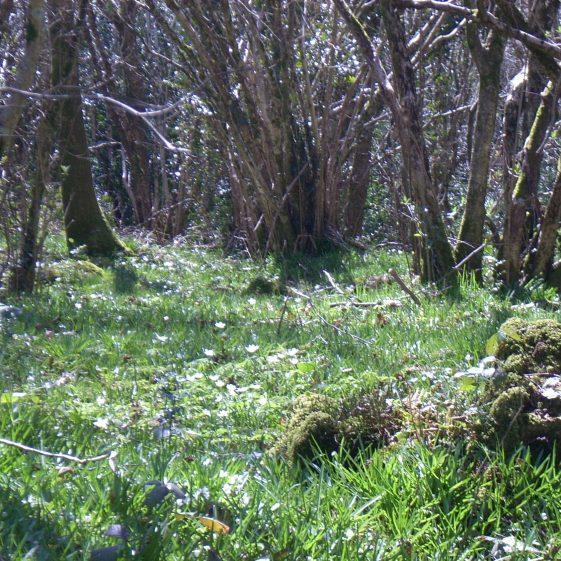 Woodlands in Springtime | Ballinglen Development Committee