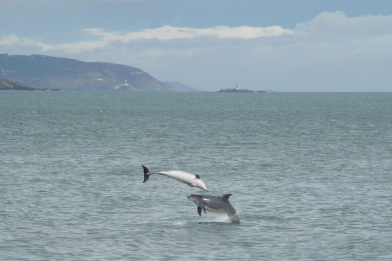 Dolphins in Dalkey Bay from Bray Harbour Wall | Justin Ivory