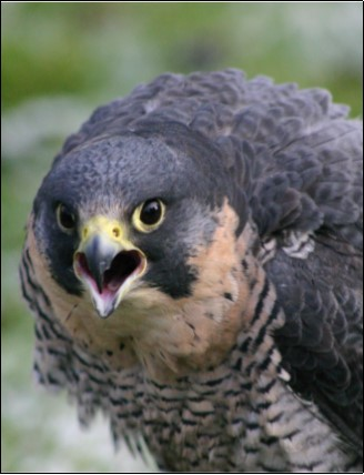 10. Peregrine Falcon | Photo: John Griffin