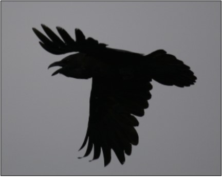 11. Raven   Photo: John Carey