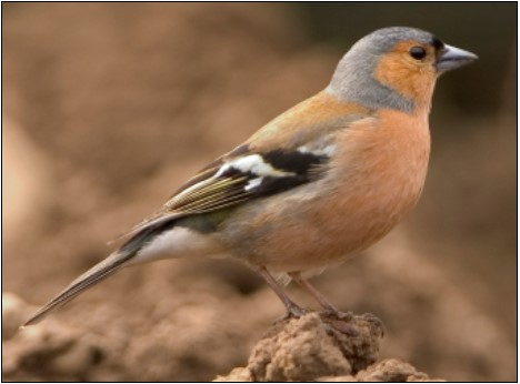 13. Chaffinch | Photo: Clive Timmons