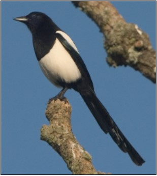 15. Magpie | Photo: Clive Timmons