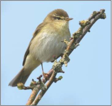 1. Willow Warbler | Photo: John Carey