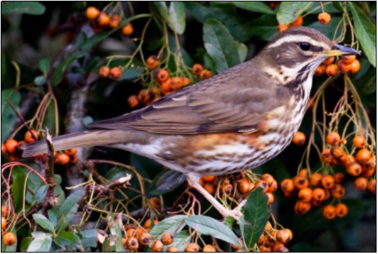 2. Redwing   Photo: Shay Connolly