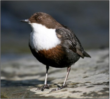 3. Dipper | Photo: Shay Connolly