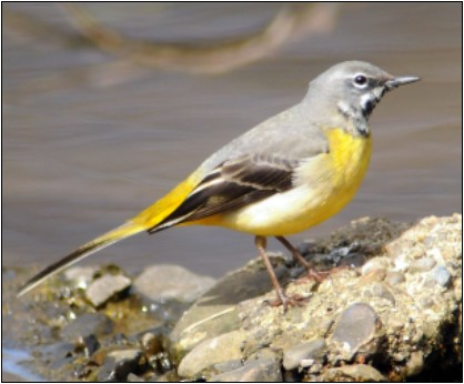 4. Grey Wagtail | Photo: Michael Finn