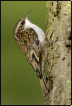 6. Treecreeper | Photo: John Fox