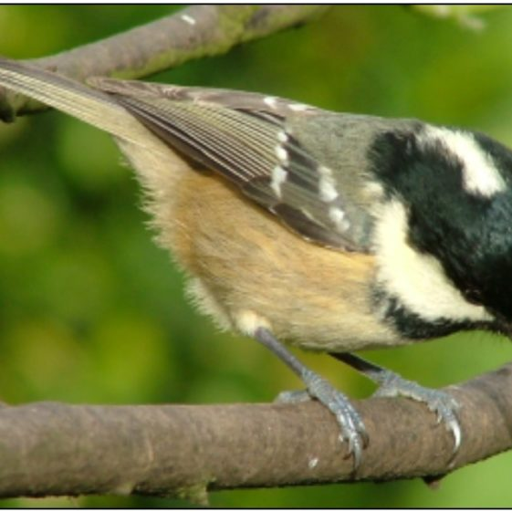 8. Coal Tit | Photo: Gerry Cassidy