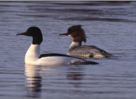 9. Goosander | Photo: Killian Mullarney)