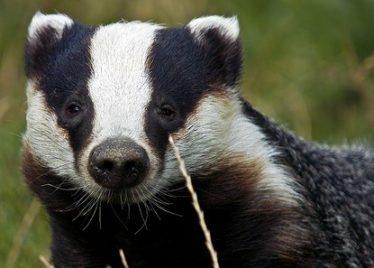 Badger | Courtesy of Wikimedia Commons