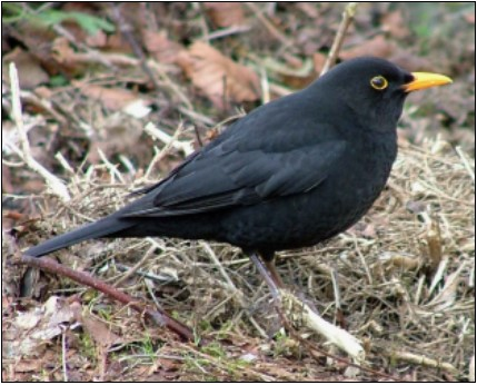 Blackbird |  Photo: Jerry Cassidy