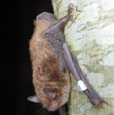 Daubenton's Bat | Courtesy of Wikimedia Commons
