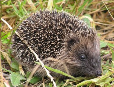 Hedgehog | Courtesy of Wikimedia Commons