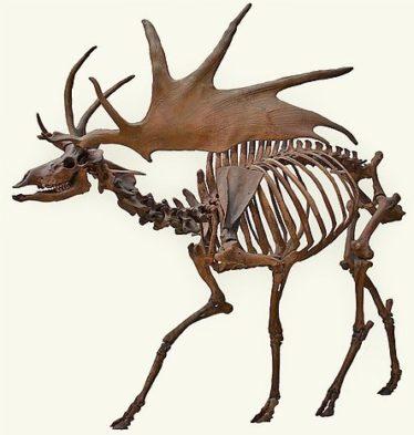 Irish Elk | Courtesy of Wikimedia Commons