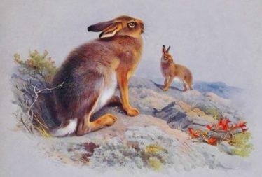 Irish Hare | Courtesy of Wikimedia Commons