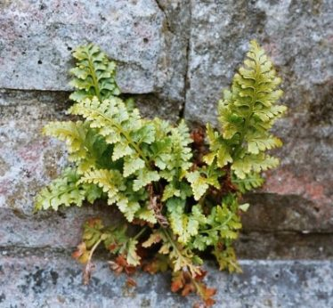 Lanceolate Spleenwort | Courtesy of Len Worthington