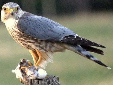 Merlin | Courtesy of Wikimedia Commons
