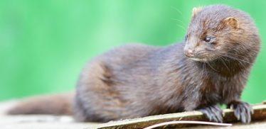 Mink | Courtesy of Wikimedia Commons