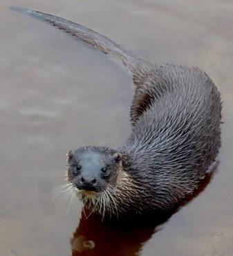 Otter | Courtesy of Kenneth Allen