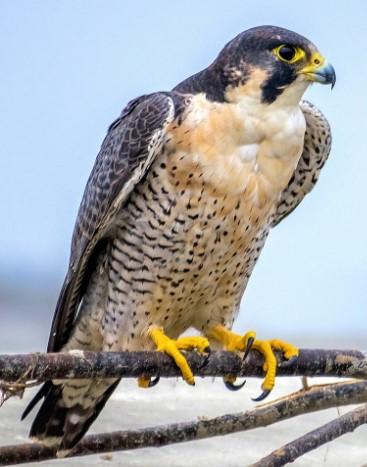 Peregrine Falcon | Courtesy of Wikimedia Commons
