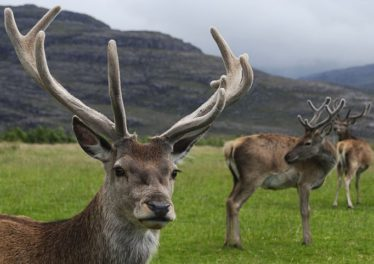 Red Deer | Courtesy of Wikimedia Commons