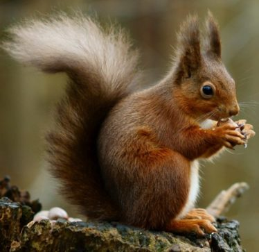 Red Squirrel | Courtesy of Wikimedia Commons