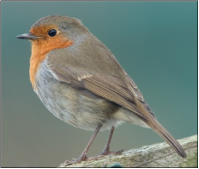 Robin | Photo: Clive Timmons