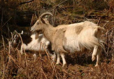 Wild Goats | Courtesy of the NPWS