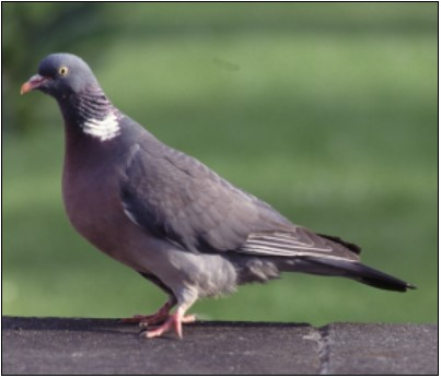 Wood Pigeon | Photo: Birdwatch Ireland